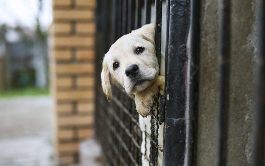 5 consideraciones a la hora de adoptar un perro (1)
