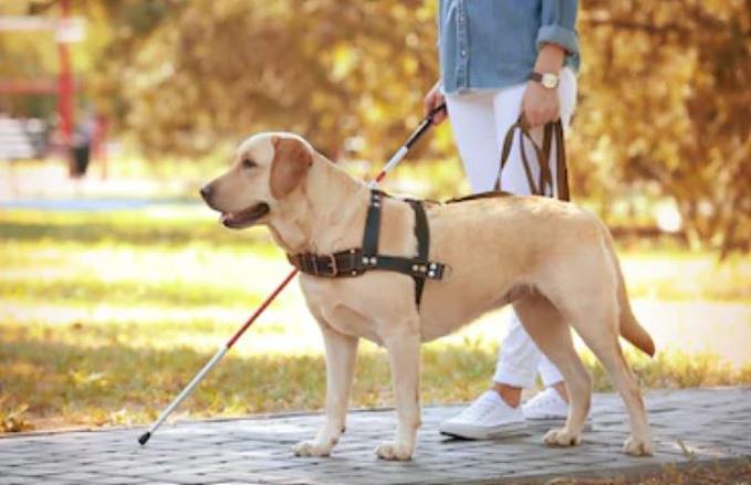 ¿Cómo es un perro guía?