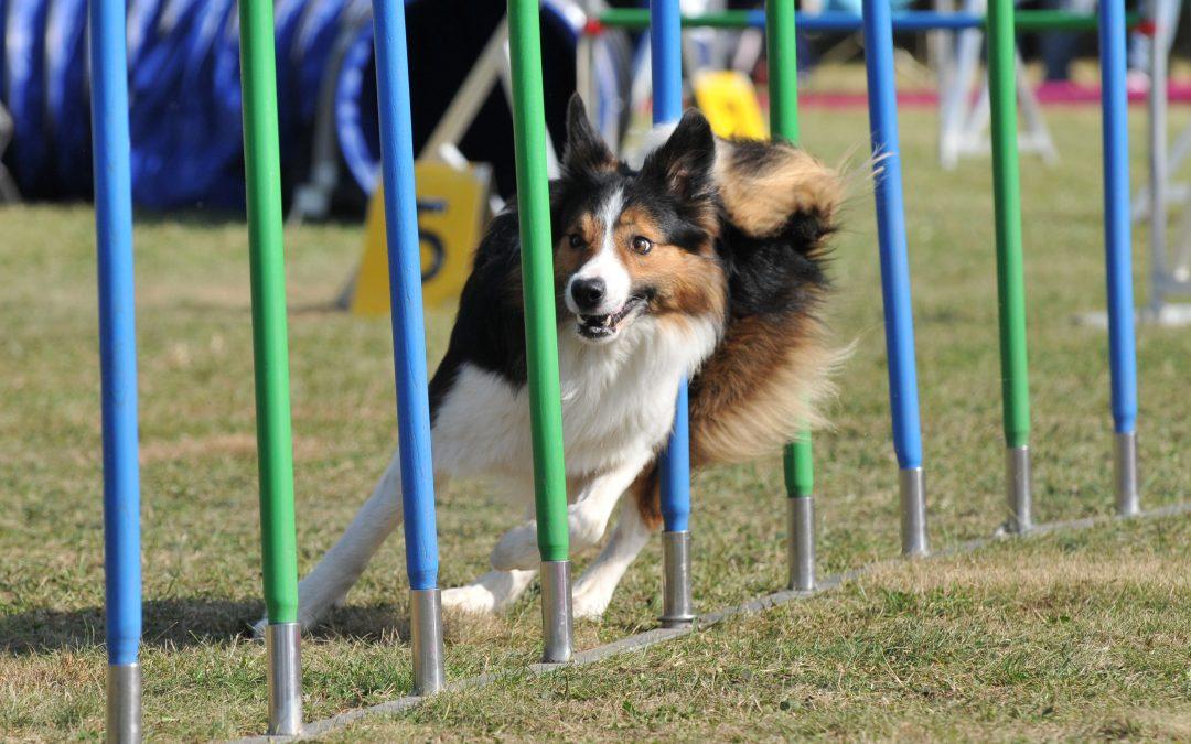 ¿Cómo entrenar a un perro para concurso de agility?