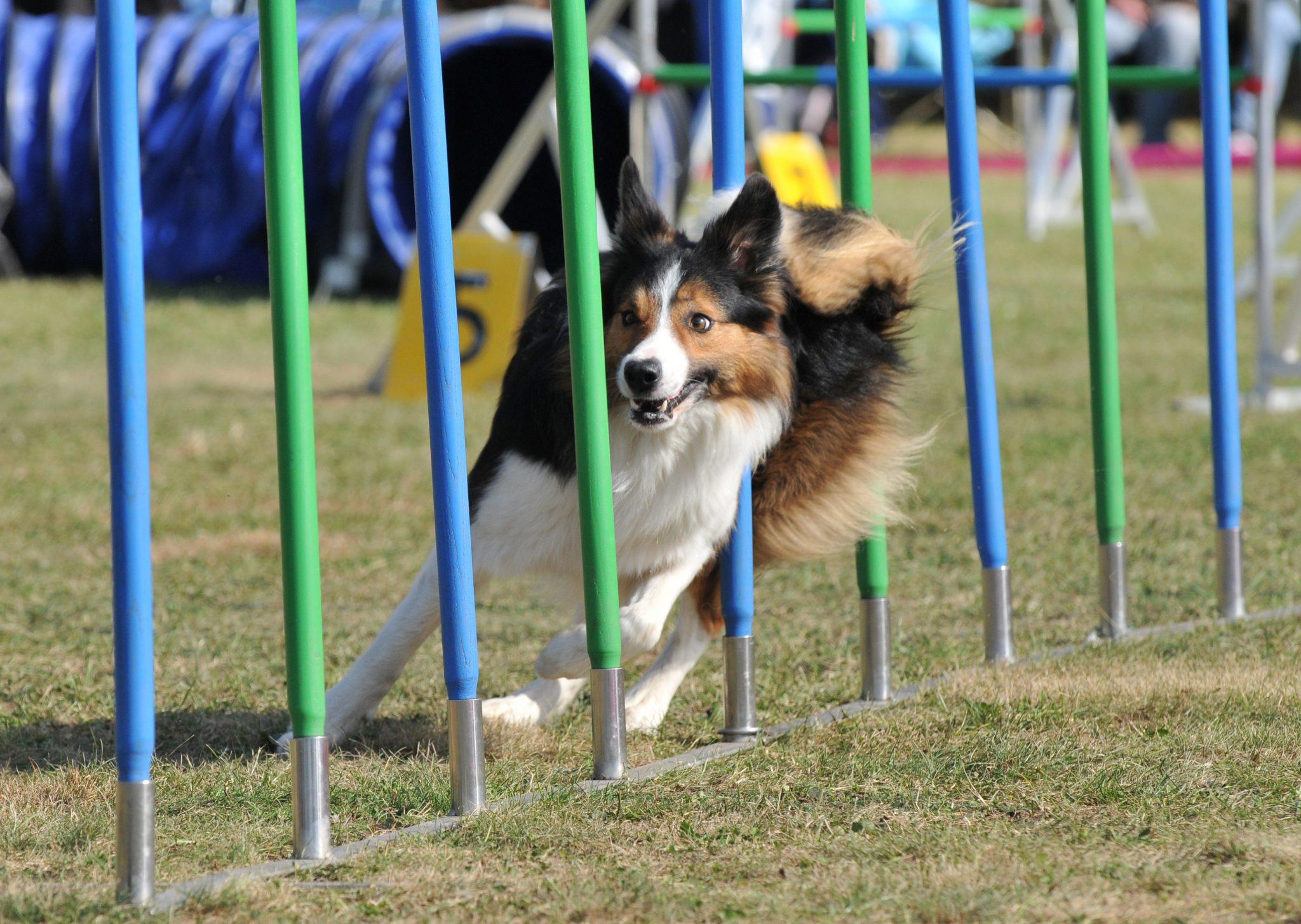 Cómo entrenar a un perro para concurso de agility?