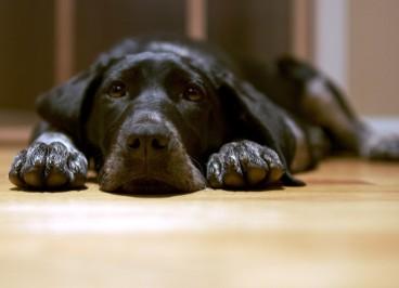 Enseña a tu perro a tumbarse y quedarse quieto