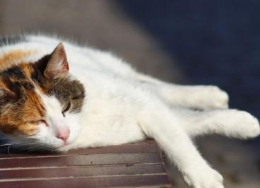 Golpe de calor en gatos: Síntomas y prevención