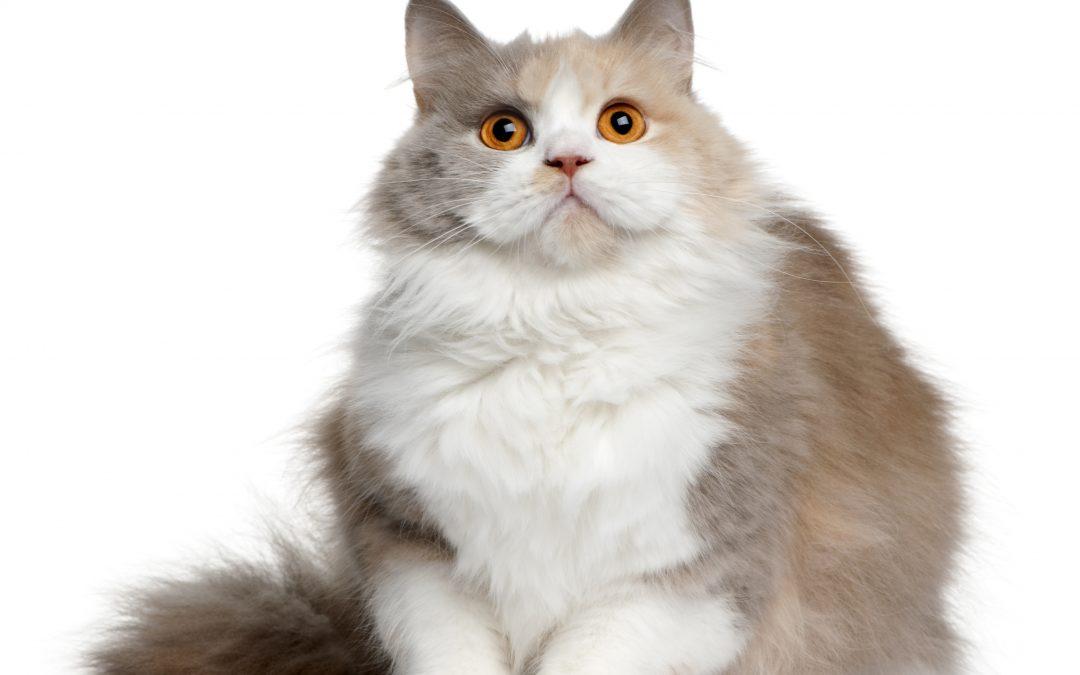Obesidad felina, ¿cómo prevenir el sobrepeso de nuestro gato?