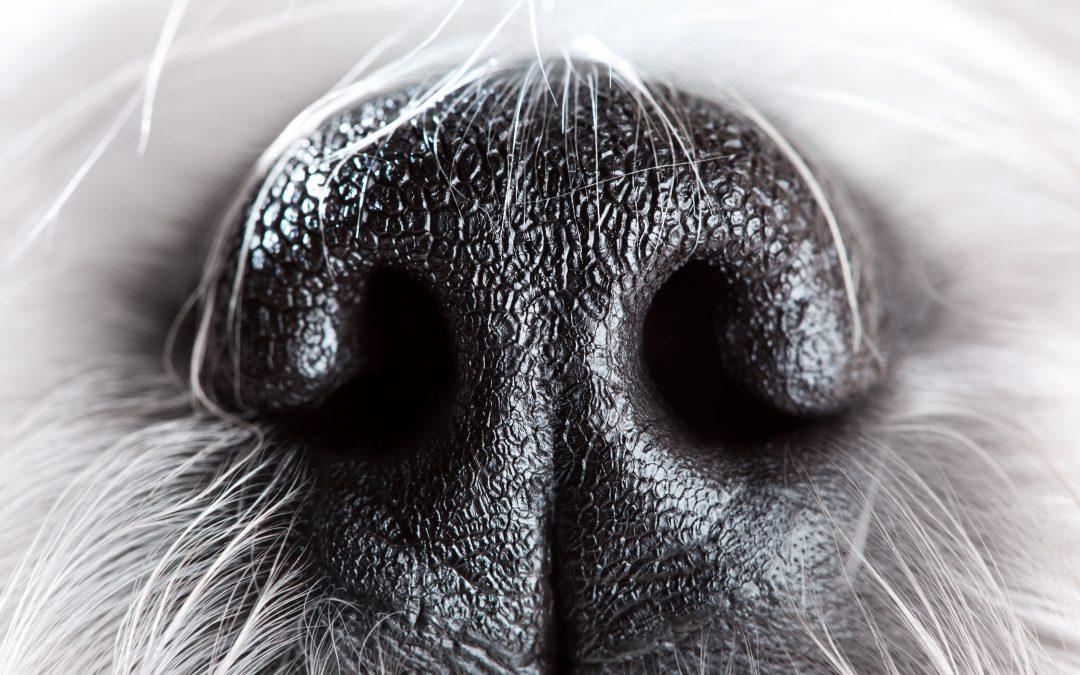 Técnicas para desarrollar el olfato de nuestro perro