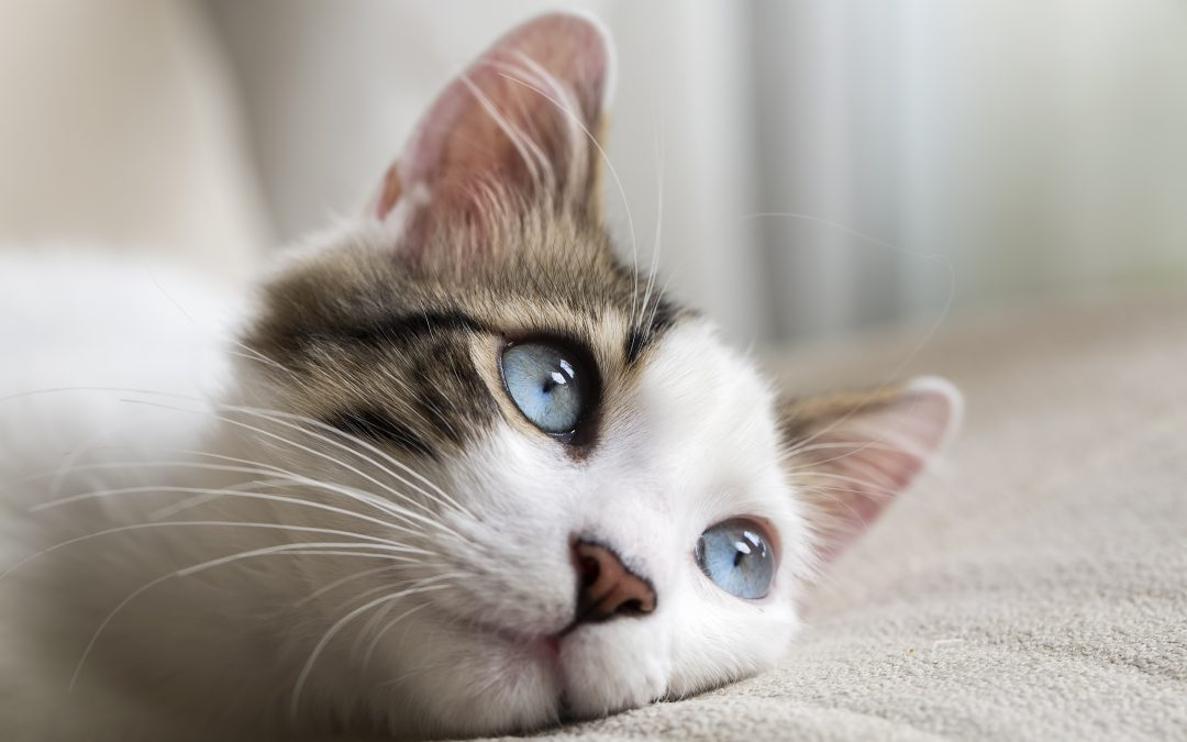 Panleucopenia felina: qué es, síntomas y tratamiento