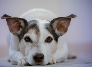 Neumonía canina: qué es, síntomas y tratamiento