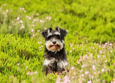 La alergia de los perros en primavera