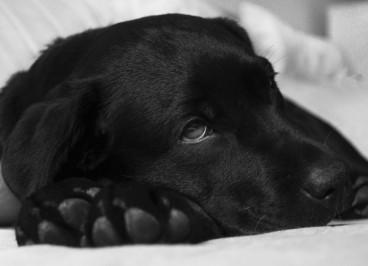 Laringitis canina: qué es, síntomas y prevención