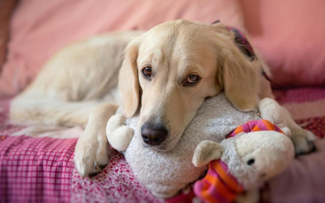 Embarazo psicológico en perros: síntomas y tratamiento