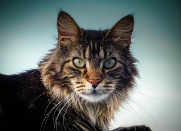 Las razas de gatos más populares